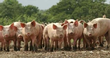 Таиланд приостановил импорт свиней из Лаоса.